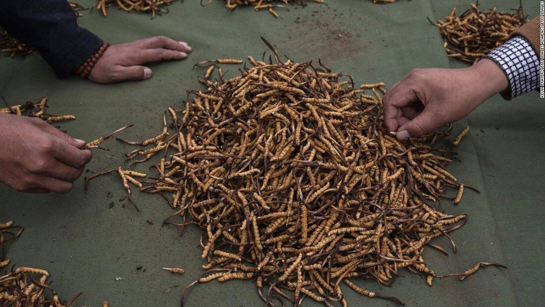Caterpillar Fungus AKA Cordyceps…Miracle Kidney Cure Or Quack Treatment?