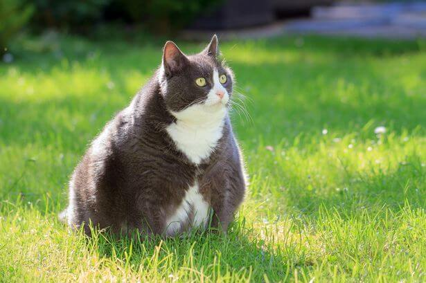 Acute Kidney Injury In Cats…Knowing The Difference Between AKI And CKD