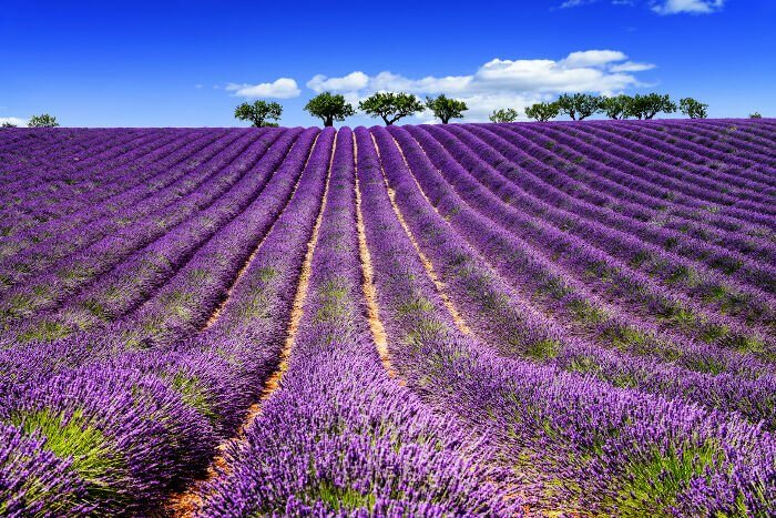The Soothing Power of Lavender…For Kidney Disease?