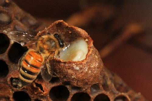 Royal Jelly Could Be A Great Asset For Kidney Cancer Patients Looking To Stem Effects of TKI Therapy