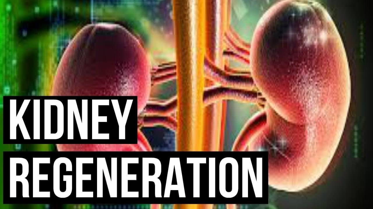 New Study Revealing Kidneys Self-Repair After Birth Could Help CKD Patients