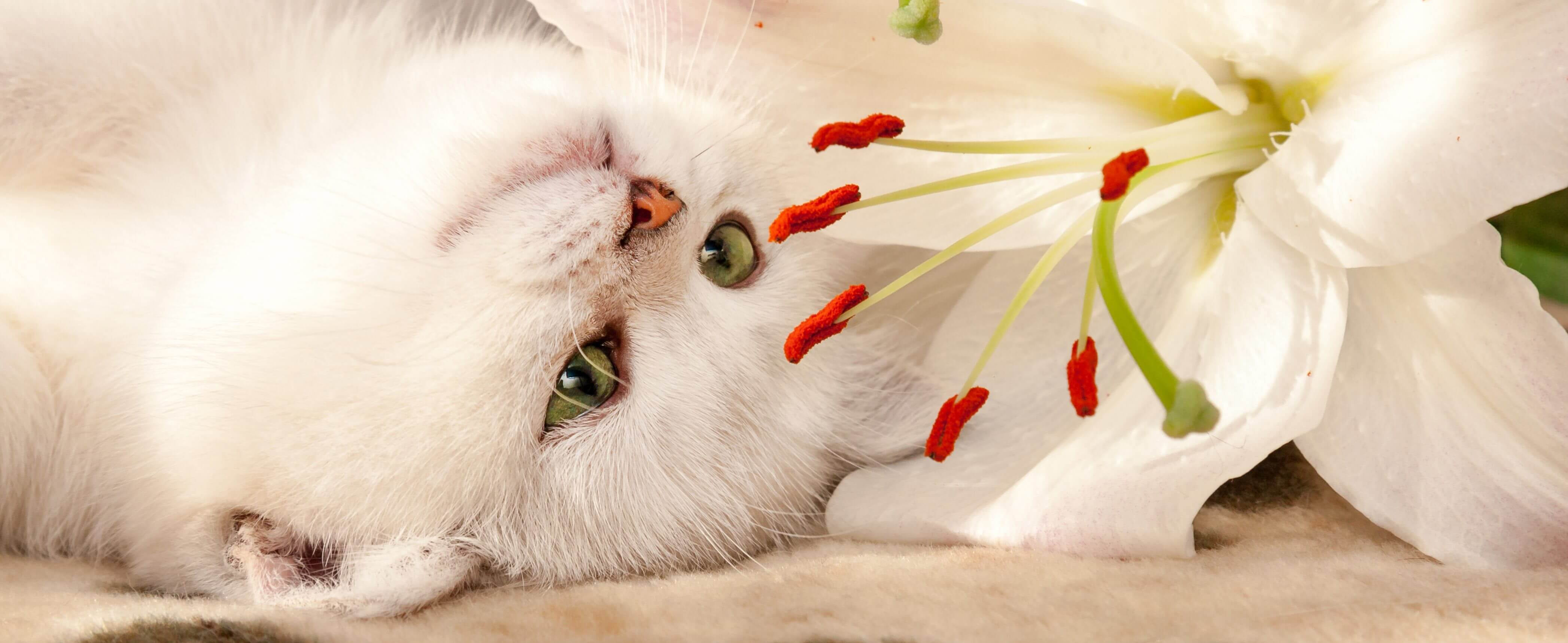 Lilies Are Pure Poison For Your Cat's Kidneys…Keep Them Away!